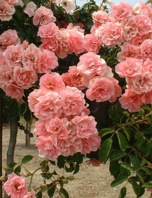 Schuss csüngő rózsa