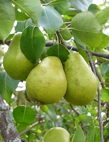 Serres Olivér körte