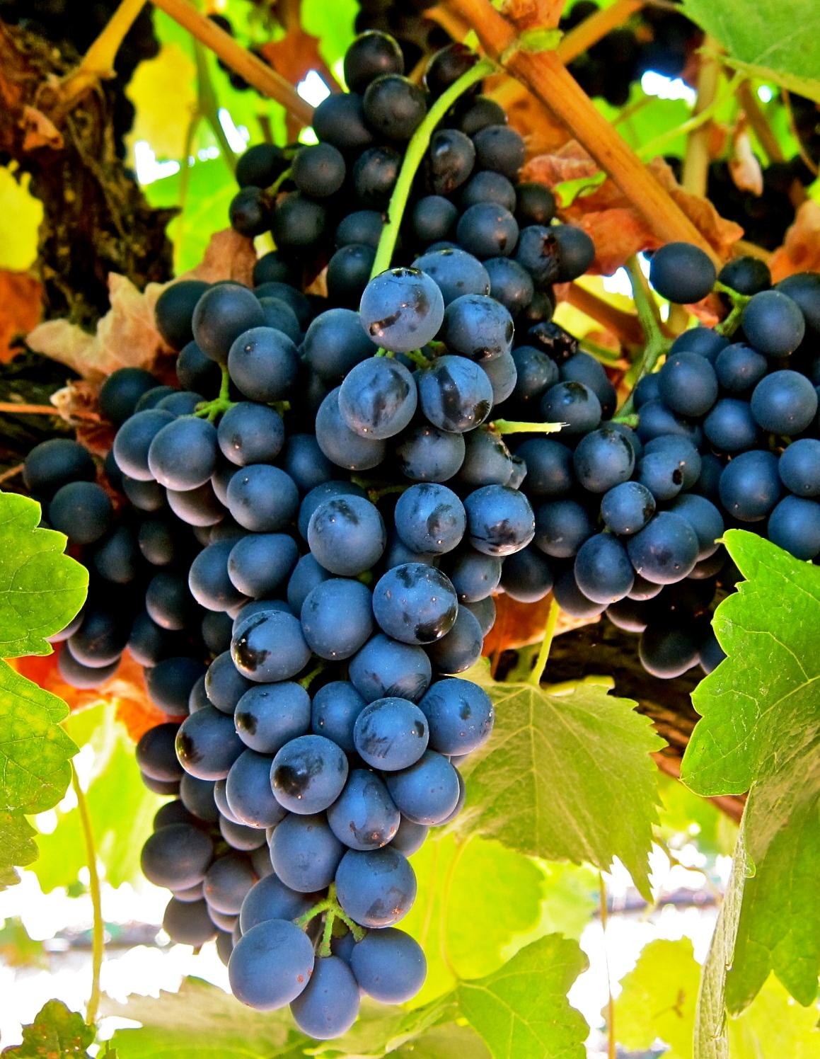 Syrah vörös borszőlő