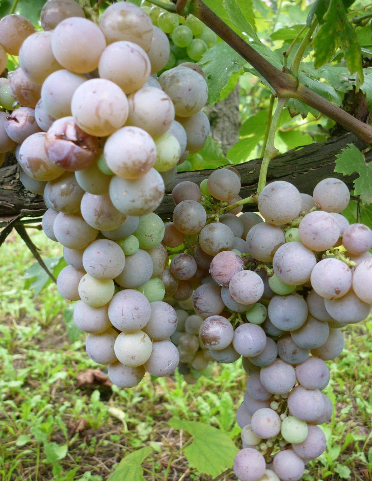 Szürkebarát fehér borszőlő