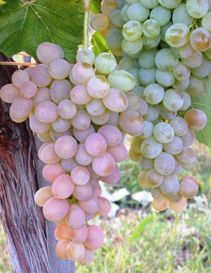 Teréz csemegeszőlő /rezisztens/