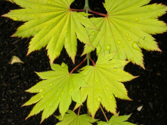 Sárga levelű törpe japán juhar