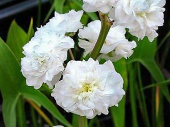 Japán nyílfű