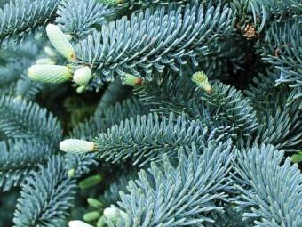 Kék andalúziai fenyő