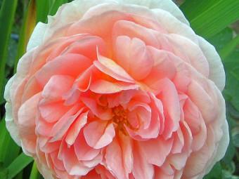 Abraham Darby angol rózsa