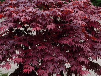 Japán juhar 'Bloodgood' változat