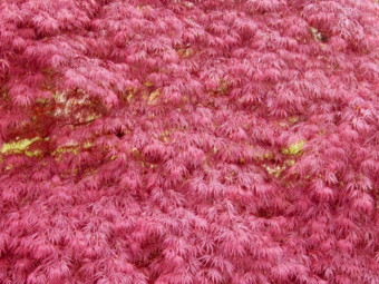 Japán juhar 'Corallinum' változat