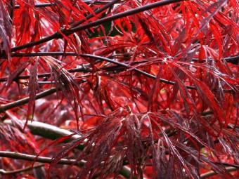 Vöröslevelű juhar