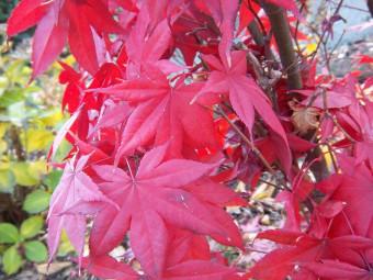 Vörös lombú juhar