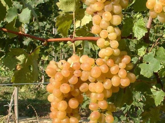 Afuz Ali csemegeszőlő