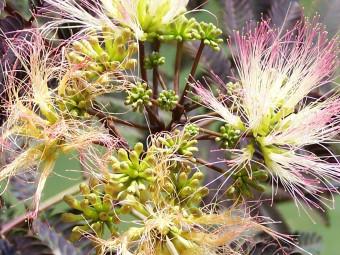 Vörös levelű selyemakác