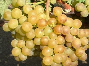 Aletta fehér borszőlő
