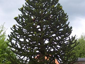 Chilei arakuária
