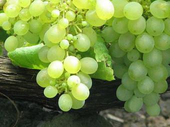 Attila csemegeszőlő