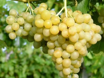 Augusztusi muskotály /Palatina/ csemegeszőlő /rezisztens/