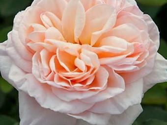 Belle romantica tearózsa