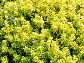 Arany japán borbolya