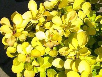 Sárga oszlopos borbolya