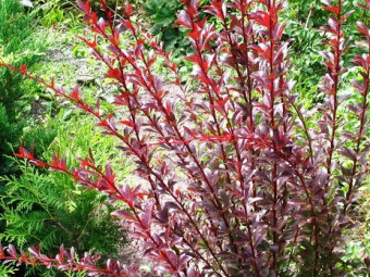 Bordó levelű borbolya