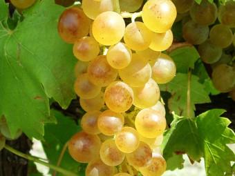 Bianca fehér borszőlő