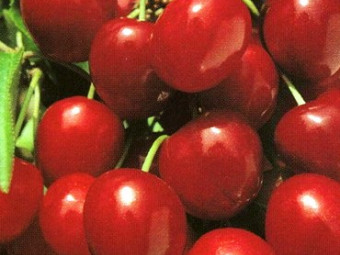 Bigarreau Tardif de Vignola cseresznye