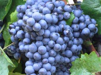 Blauburger vörös borszőlő