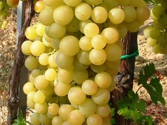 Boglárka csemegeszőlő