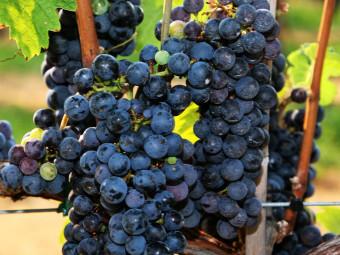 Cabernet Franc vörös borszőlő