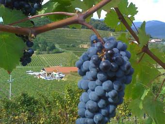 Cabernet sauvignon vörös borszőlő