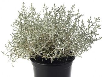Ezüstnövény