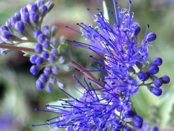 Kékszakáll 'Grand Blue' változat