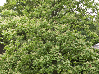 Karéjoslevelű szivarfa