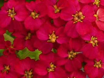 Piros sarkantyúvirág