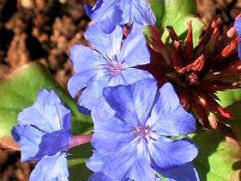 Tarackoló kékgyökér