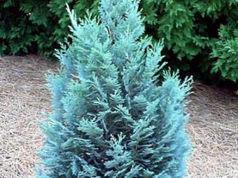 Kék hamisciprus