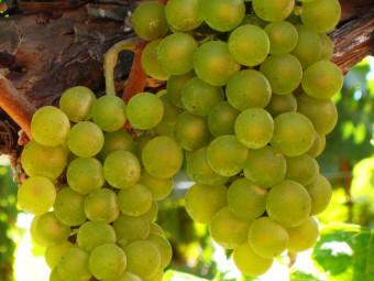 Chardonnay fehér borszőlő