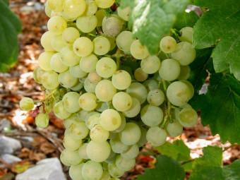 Chasselas fehér csemegeszőlő