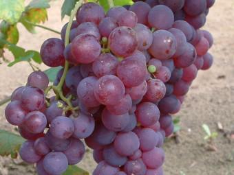 Chasselas piros csemegeszőlő
