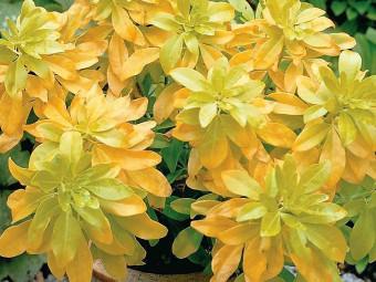 Sárga mexikói narancsvirág