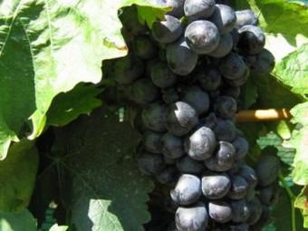 Adria csemegeszőlő