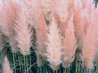 Rózsaszín virágú pampafű