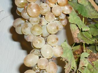 Csiri-csuri csemegeszőlő
