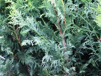 Kék lombú leyland ciprus