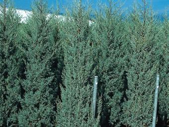 Oszlopos arizónia ciprus