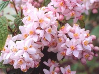 Érdeslevelű gyöngyvirágcserje