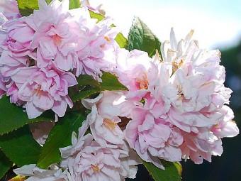 Teltvirágú gyöngyvirágcserje