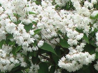 Csipkés gyöngyvirágcserje