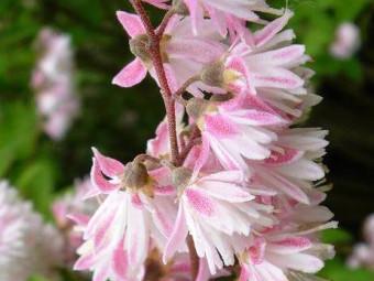 Rózsaszín virágú gyöngyvirágcserje