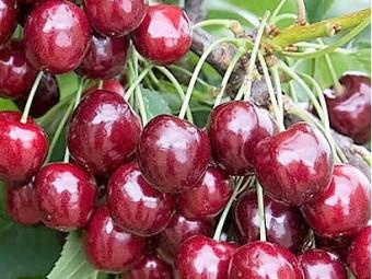Disznódi fűszeres cseresznye