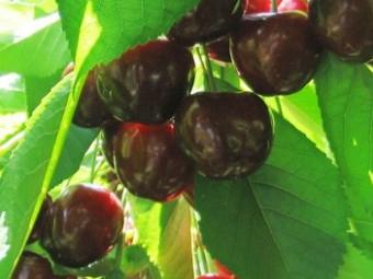 Durona cseresznye